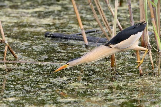 Un petit butor mâle prêt à attaquer une proie de la branche de roseau