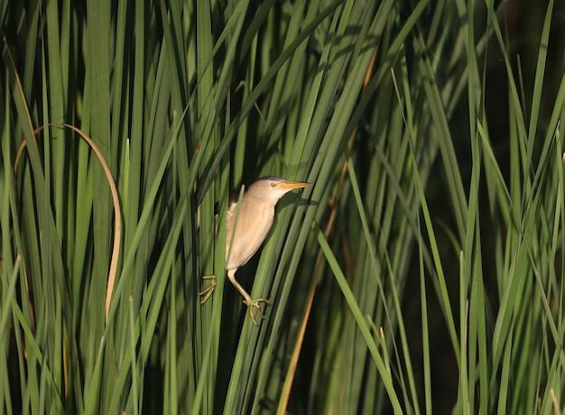 Petit butor mâle tourné en gros plan assis sur les tiges vertes du roseau