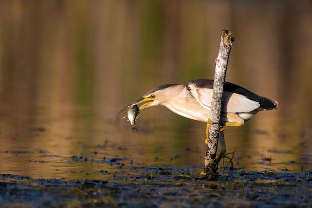 Petit butor s'accroche à un bâton avec un gros poisson dans son bec ixobrychus minutus