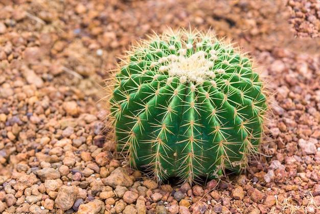 Petit cactus vert dans le jardin du désert.