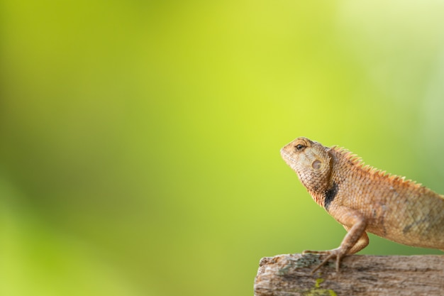 Petit caméléon tropical se bouchent avec fond.