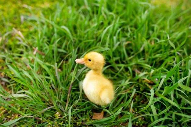 Petit canard dans l'herbe verte