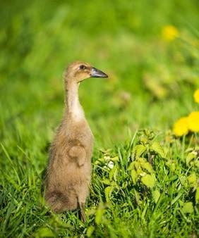 Petit canard gris domestique assis dans l'herbe verte