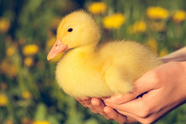 Petit canard jaune dans l'herbe verte