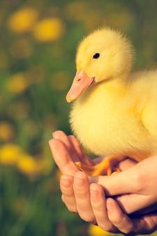 Petit canard jaune