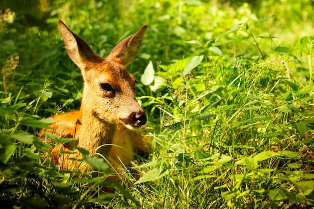 Petit cerf mignon couché dans la verdure au soleil