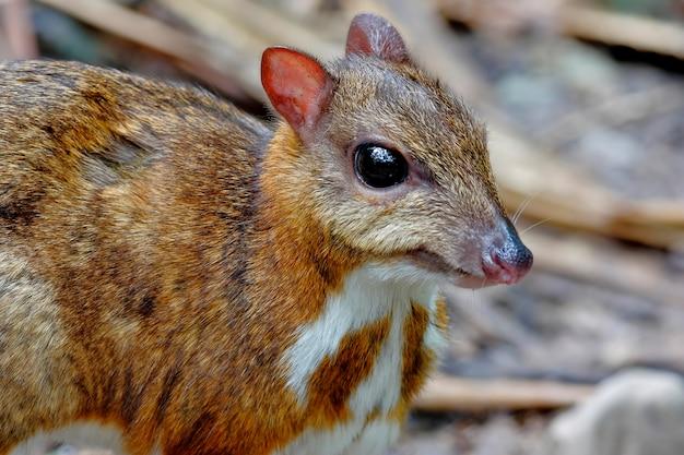 Petit cerf-souris tragulus kanchil