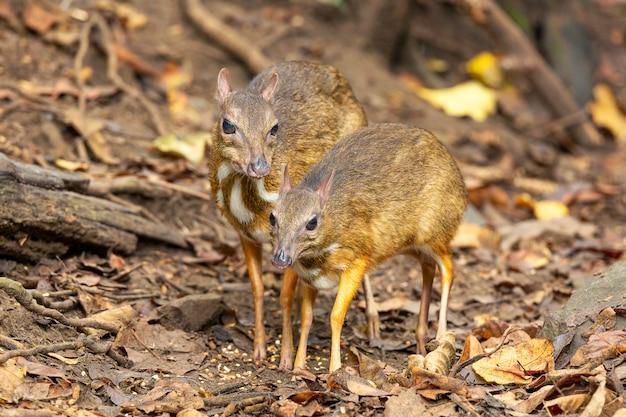 Petit cerf souris