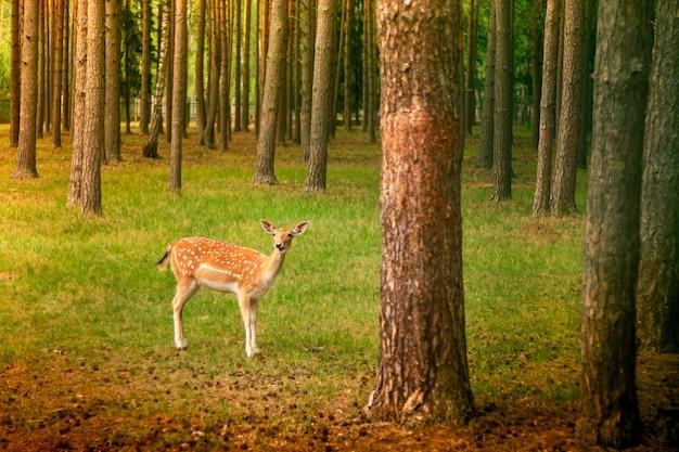 Petit cerf tacheté mignon debout dans une clairière de forêt parmi les pins au soleil