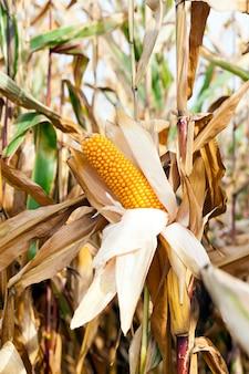Petit champ agricole où le maïs est cultivé.