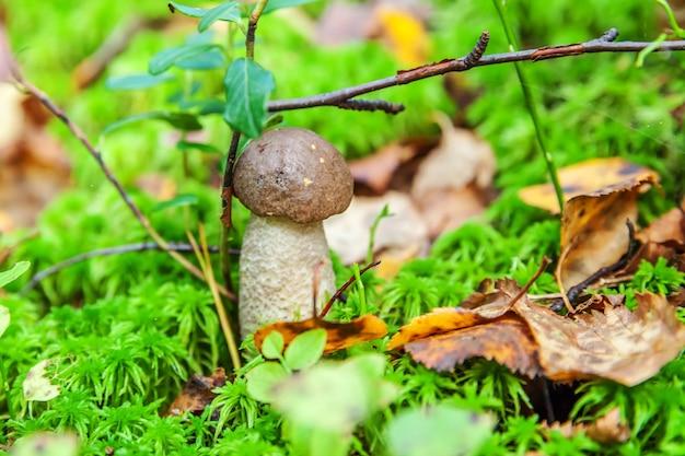 Petit champignon comestible avec capuchon brun penny bun leccinum en fond de forêt d'automne de mousse