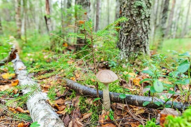 Petit champignon comestible avec chapeau brun penny bun leccinum en fond de forêt d'automne de mousse.