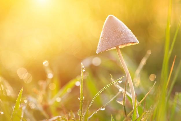 Petit champignon pourri sur le champ vert au matin