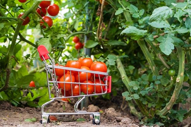 Un petit chariot de supermarché avec des tomates cerises à l'intérieur sur un fond de buissons de tomates