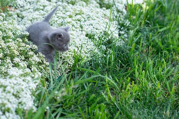 Petit chat gris, âgé d'un mois dans le jardin. chat dans l'herbe verte et fleurs alyssum.