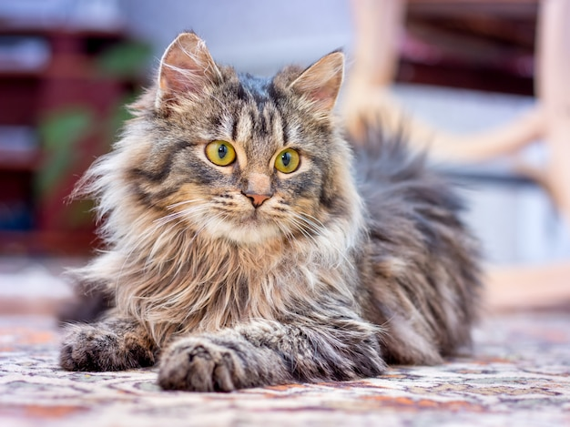 Un petit chat pelucheux se couche dans la pièce et regarde attentivement le propriétaire