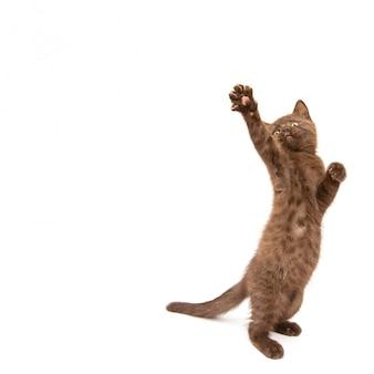 Petit chaton aux pattes levées