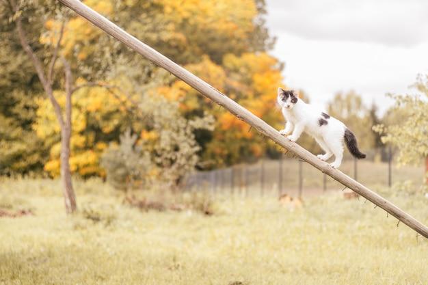 Petit chaton blanc et noir de 2 mois avec des yeux de différentes couleurs se dresse sur un bâton en bois incliné sur fond de forêt d'automne jaune