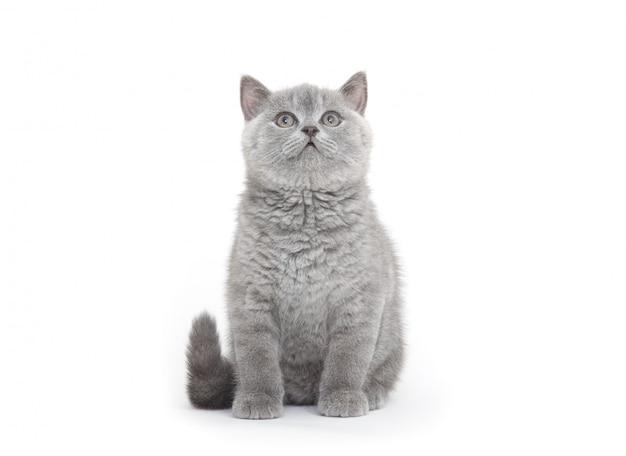 Petit chaton britannique sur la surface blanche
