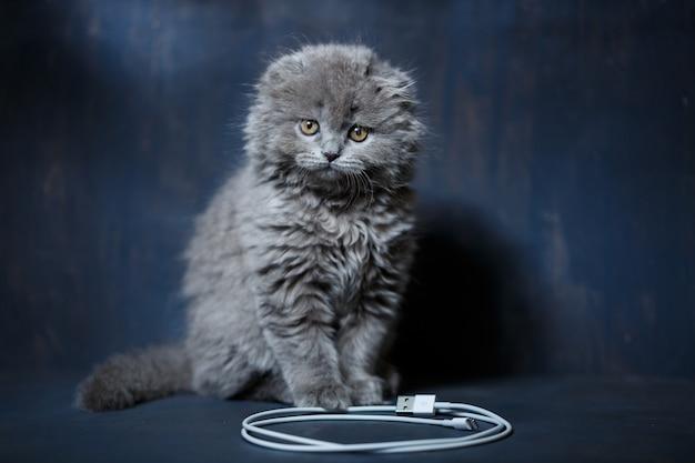 Le petit chaton british fold joue avec un câble pour charger le téléphone