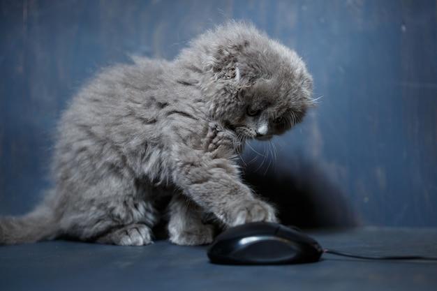 Le petit chaton british fold joue avec une souris d'ordinateur