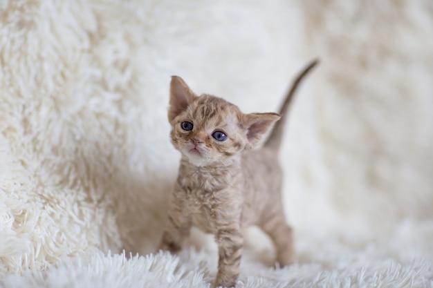 Le petit chaton devonrex se dresse sur un plaid
