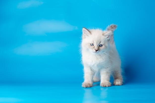 Petit chaton sur fond bleu