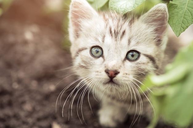 Petit chaton furtivement des feuilles de pomme de terre