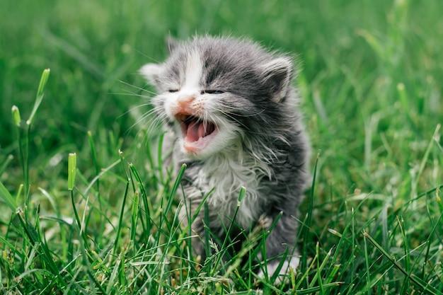 Petit chaton gris et blanc mignon marchant prudemment sur l'herbe verte. bel animal de compagnie à l'extérieur