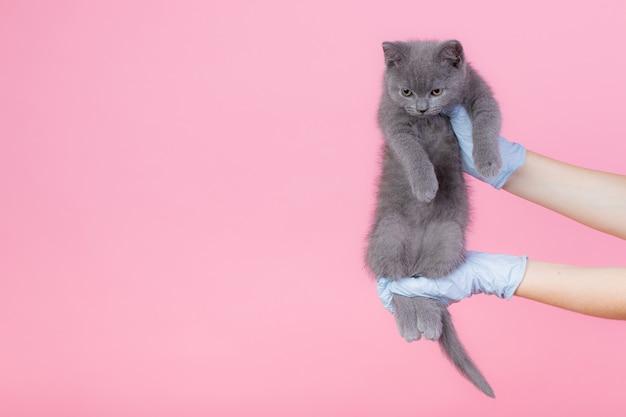 Un petit chaton gris britannique dans une clinique vétérinaire et les mains dans des gants bleus