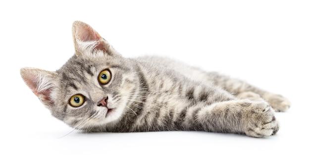 Petit chaton gris sur fond blanc