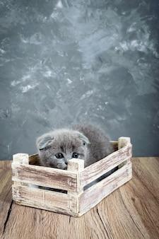 Un petit chaton gris scottish fold se trouve dans une boîte en bois. le chaton a eu peur et s'est caché. vue verticale