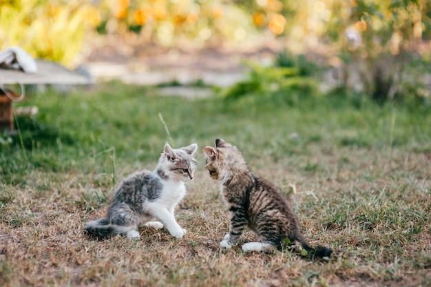 Petit chaton jouant en plein air dans la campagne sur l'herbe en été. animaux domestiques à fourrure en plein air.