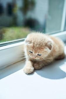 Petit chaton ludique britannique à la maison près de la fenêtre, chaton écossais, chat rousse drôle.