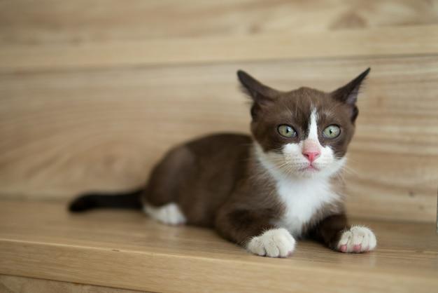 Petit chaton marron chocolat au visage et nez rose, chat chaton guette quelque chose sur le plancher en bois