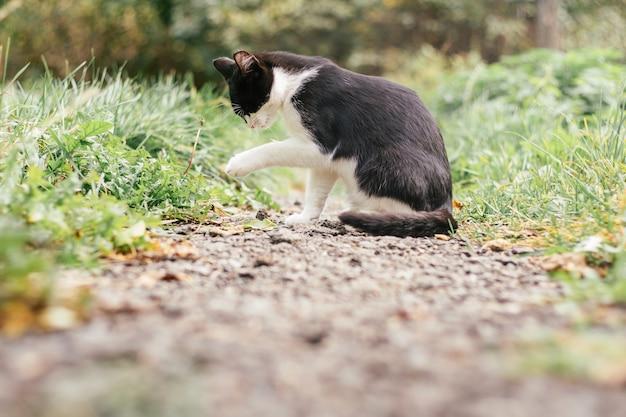 Petit chaton noir et blanc de 4 mois est assis sur le chemin et se lèche la patte, parmi l'herbe verte floue