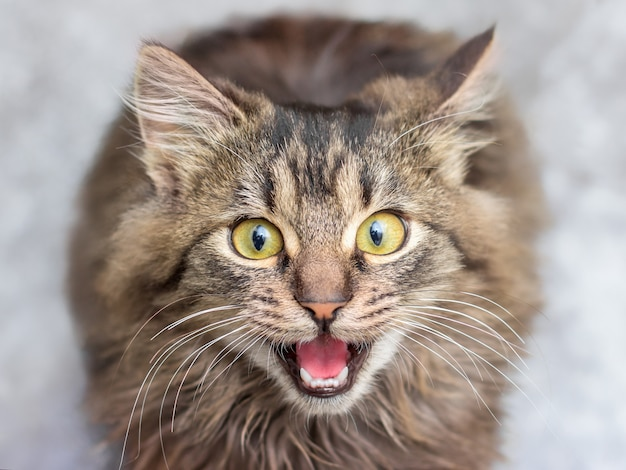 Un petit chaton rayé regarde attentivement le propriétaire