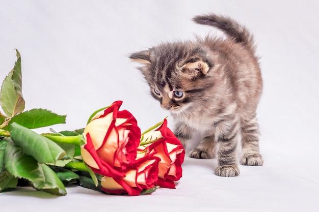 Un petit chaton regarde le bouquet de roses rouges. des fleurs comme cadeau d'anniversaire