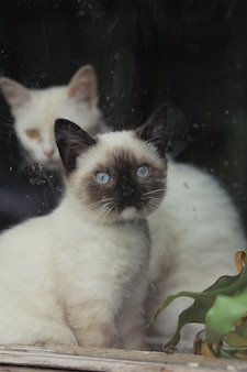 Petit chaton siamois