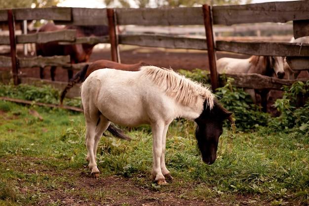 Un petit cheval poulain debout près d'une vieille clôture en bois dans une ferme équestre