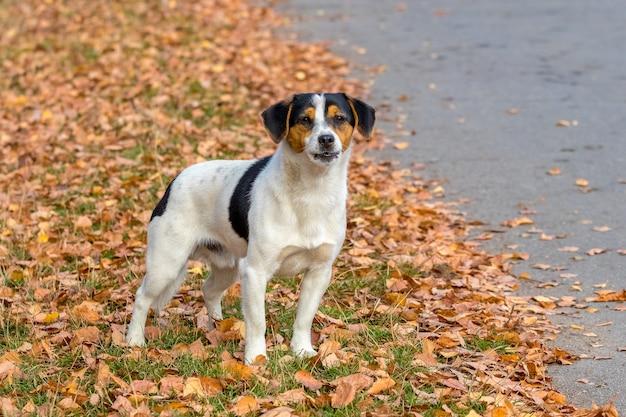 Petit chien blanc parmi les feuilles d'automne, portrait de chien