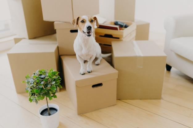 Petit chien brun et blanc jack russel terrier pose sur des boîtes en carton