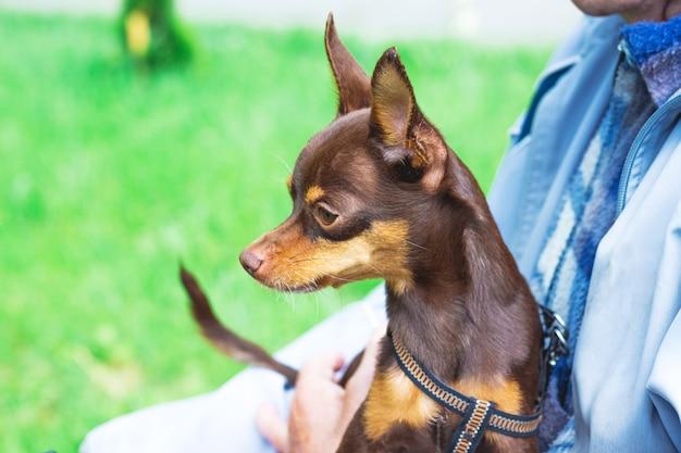 Petit chien brun jouet terrier russe entre les mains du propriétaire