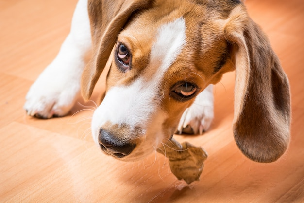Un petit chien de chasse ronge un os au sol