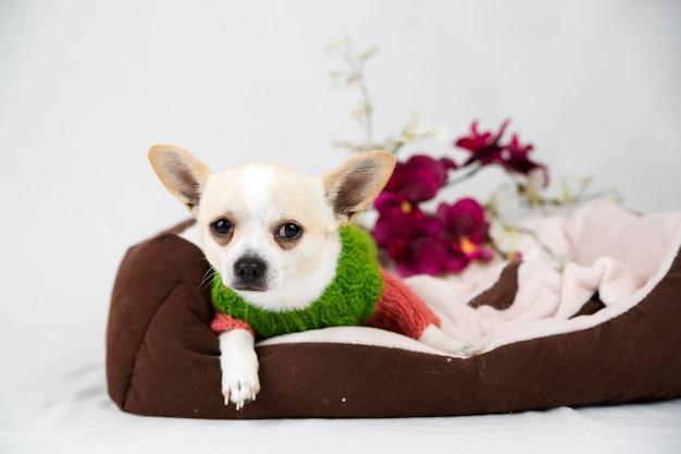 Petit chien chihuahua au lit