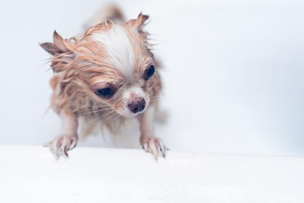 Petit chien chihuahua brun mignon en attente pour le propriétaire dans la baignoire après avoir pris un bain dans la baignoire