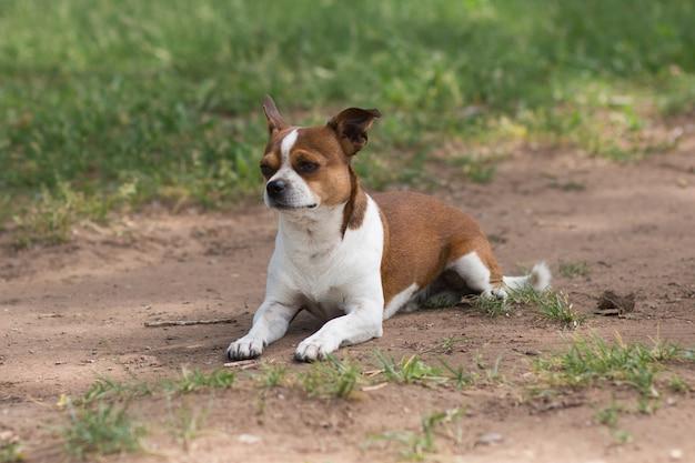 Petit chien chihuahua couché sur une route de campagne au jour d'été