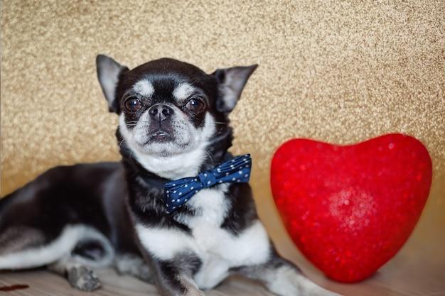 Petit chien chihuahua noir avec noeud papillon et coeur rouge pour la saint valentin