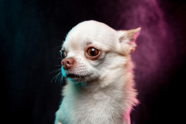Petit chien chihuahua posant comme un cerf de noël isolé sur fond blanc.