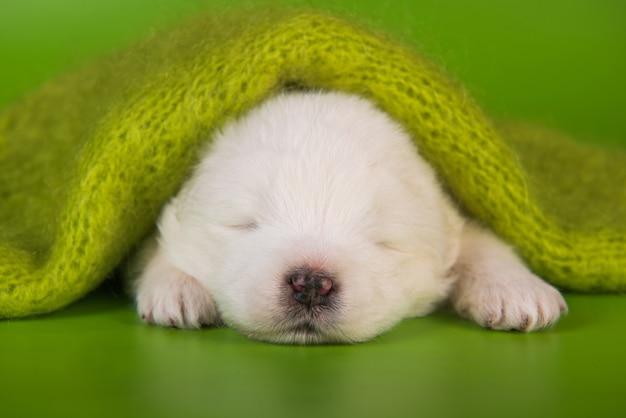 Petit chien chiot samoyède blanc sur fond vert